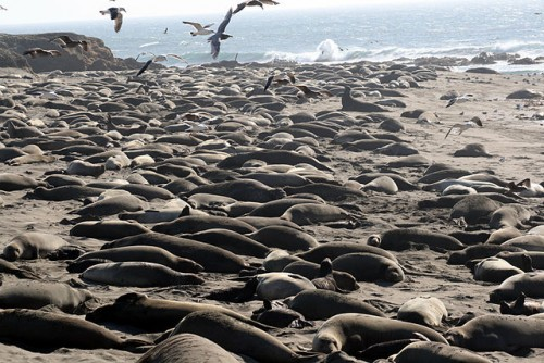 """""""Breeding colony of Mirounga angustirostris""""[elephant seals] by Brocken Inaglory - Own work. Licensed under GFDL via Commons - https://commons.wikimedia.org/wiki/File:Breeding_colony_of_Mirounga_angustirostris.jpg#/media/File:Breeding_colony_of_Mirounga_angustirostris.jpg"""
